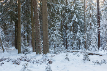 Fototapete - Winter landscape of coniferous stand in sunset