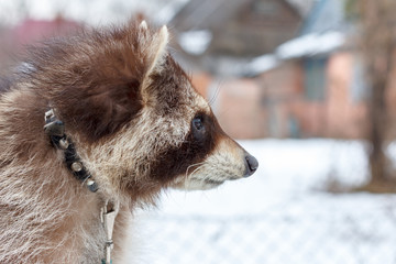 portrait of a raccoon on a leash in the winter day
