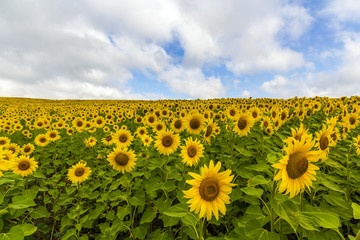 Field of blooming sunflowers in summer sunny day.