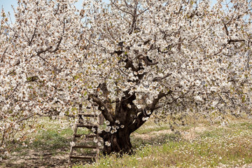 White Cherry Blossom Tree with a Ladder in Vall Gallerina Spain