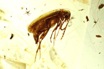 marsh beetle imprisoned in baltic amber