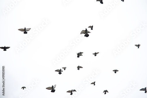 Foto em tela A flock of pigeons flies across the sky. Birds fly against the s