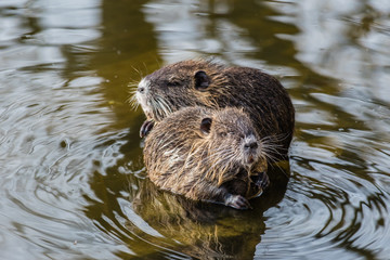 Two curious coypus sitting on a stone in the water