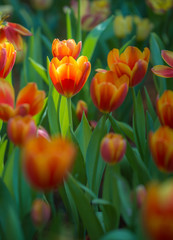 Colorful tulips with beautiful bouquet background