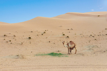 Desert landscape with Baby camel calf feeding on mother camel desert.