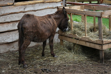 Brown donkey in Romania