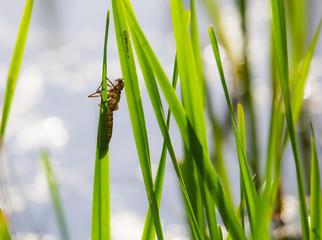 zwei unterschiedliche Exuvien von Libellenlarven sitzen im Schilf an einem See