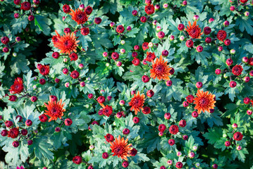 Colorful Chrysanthemum flowers on top view pattern in the garden