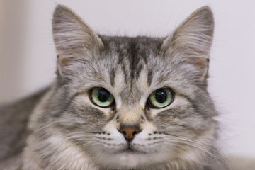 Adorable silver cat face, siberian breed