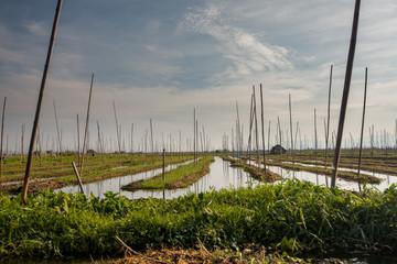 Floating gardens on Inle lake, Myanmar