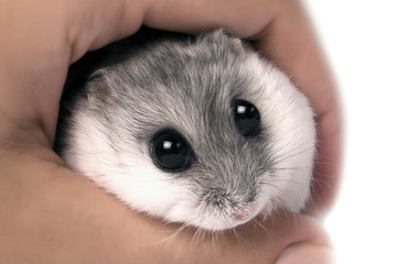frightened mouse with big eyes, caught in hand, close-up photo
