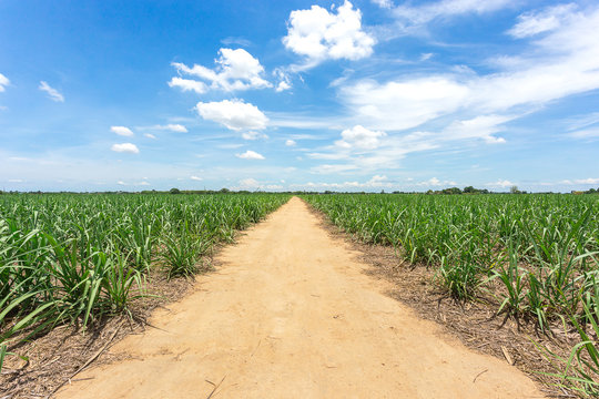 dirt road go into the farm between sugarcane farm in Thailand