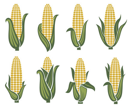 collection of corn ear images