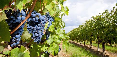 Raisin noir dans les vigne au soleil Fototapete