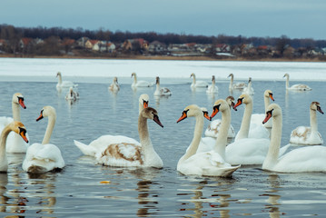 lot of swans on the lake