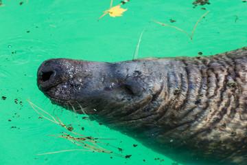 Grey Seal, Halichoerus grypus, detail portrait