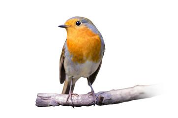 European Robin isolated on white