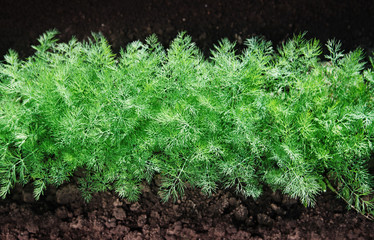 green fennel on soil