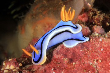 Chromodoris Sp. Nudibranch. Anilao, Philippines
