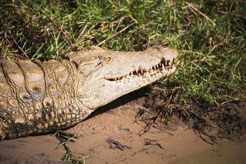 Door stickers Crocodile Krokodil im Flussbett Nationalpark Südafrika