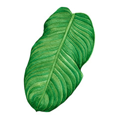 Watercolor painting green leaves,palm leaf isolated on white background.Watercolor hand painted illustration tropical,aloha exotic leaf for wallpaper vintage Hawaii style pattern.With clipping path.