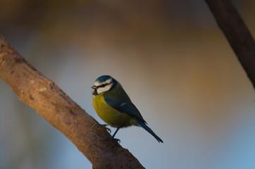 Recess Fitting Bird Blue Tit on Branch, Common Garden Bird