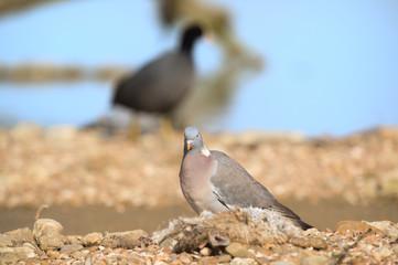 Dove in nature