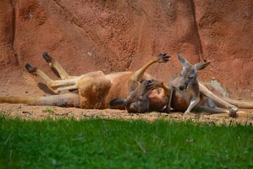 The resting kangaroo