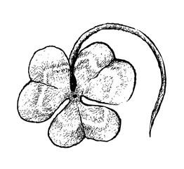 Symbols for Fortune and Luck, Illustration Hand Drawn Sketch of Fresh Three Leaf Clover Plants or Shamrock for St. Patricks Day Celebration.
