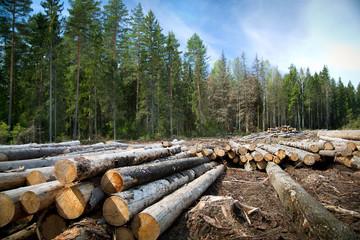 Deforestation in rural areas. Timber harvesting.