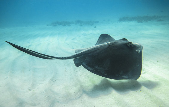 An adult southern stingray (Dasyatis americana) swimming above a sandy ocean floor in the Caribbean Sea.