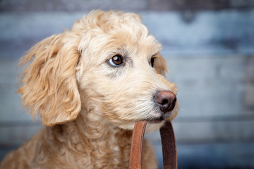Goldendoodle Puppy Holding Leash