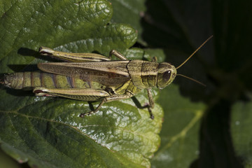 Grasshopper portrait