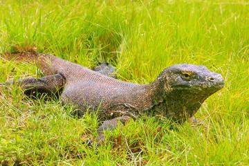Komodo dragon lying in grass on Rinca Island in Komodo National Park, Nusa Tenggara, Indonesia