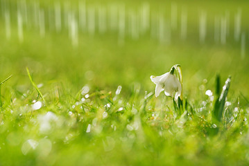 Snowdrops flower with glittering grass