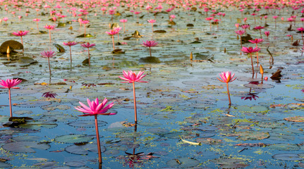 A pond with many red lotus (waterlily) with yellow morning sunlight