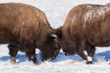 American Bison Bulls Butting Heads in the Snow