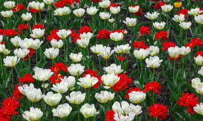Colorful flowers in springtime. Tulips field Background