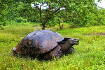 Galapagos giant tortoise on Santa Cruz Island in Galapagos National Park, Ecuador
