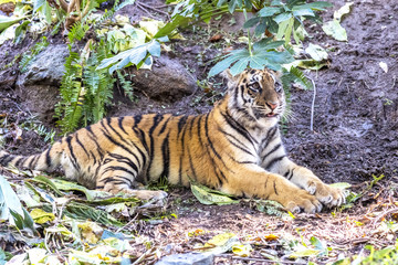 Authoritative Sumatran Tiger