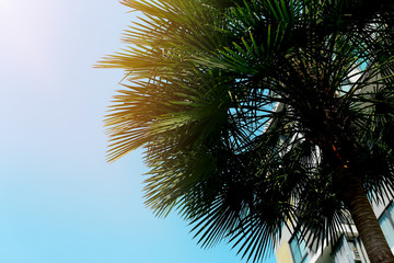 Wall Mural - portrait of big green palm, blue sky and sunshine in Thailand, Bangkok. concept of travel, warm countries, endless summer