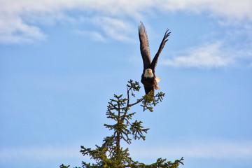 A stretching bald eagle near Mendenhall Glacier, Juneau, Alaska