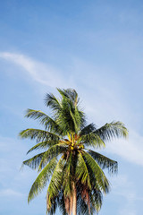 Coconut tree with sky.