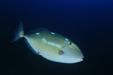 Triggerfish reef fish
