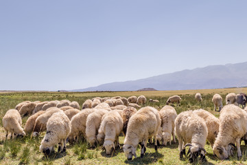 Flock of sheep grazing in meadow with mountains