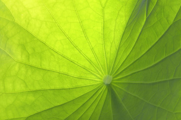 Close-up of a lotus green leaf beautiful texture background.