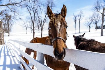 Thoroughbred Horse - Manchester Farm - Lexington, Kentucky