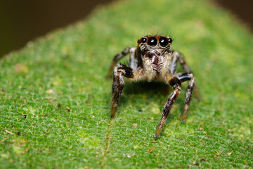 Image of Jumping spiders(Salticidae) on green leaves. Insect. Animal