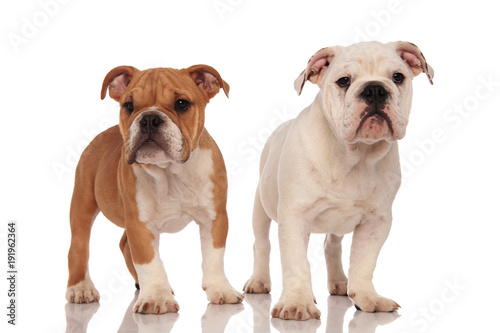 Brown And White English Bulldog Puppies