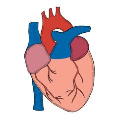 human heart sketch liner in color